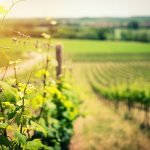 Plant a Vineyard